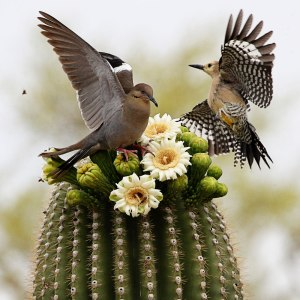 Dove and woodpecker on blooming saguaro cactus. Published in the 2015 Pema Chödrön wall calendar. Photo by Barbara Carroll Photography / GettyImages